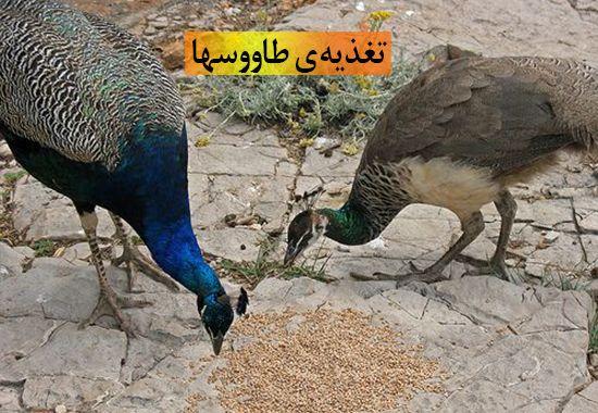 تغذیه ی طاووس