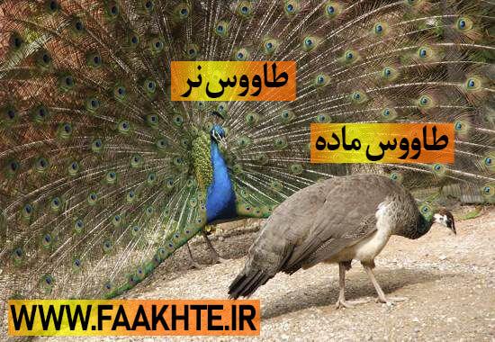 طاووس نر و ماده