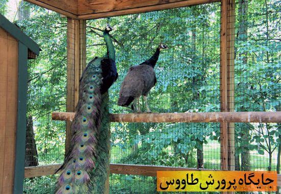 جایگاه پرورش طاووس
