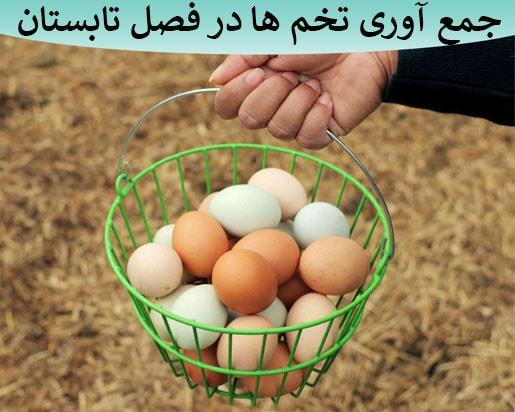 جمع آوری تخمهای جوجه کشی در تابستان